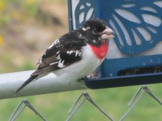Molting rose-breasted grosbeak