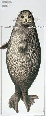 HEY LOOK! I'm a ringed seal! I knew it. This is a Saimaa Ringed Seal from Lake Saimaa in Finland. Seal Cartoon, Cartoon Art, Graphic Design Illustration, Illustration Art, Graphic Art, Animal Paintings, Under The Sea, Pet Birds, Finland