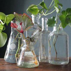 plant propagation--love the plant in the Erlenmeyer flask Indoor Garden, Garden Plants, Indoor Plants, Outdoor Gardens, Container Gardening, Gardening Tips, Plant Cuttings, Old Bottles, My Secret Garden