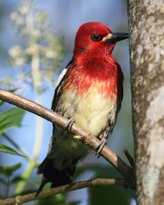 The Red-breasted Sapsucker (Sphyrapicus ruber), is a medium-sized woodpecker of the forests of the west coast of North America.