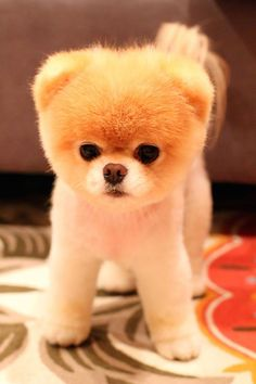 Best Spherical Chubby Adorable Dog - cdaec83416eb668698deeee8b720603a--chubby-puppies-fluffy-puppies  Image_415215  .jpg