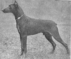 Doberman 1921 Prinz Favorit v.d. Koningstad