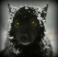 Beautiful Wolf with Amber Colored Eyes waits for His Mate