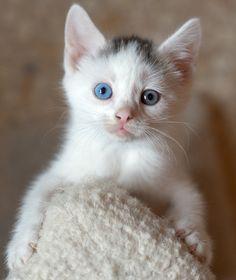 chat yeux couleurs différentes 55
