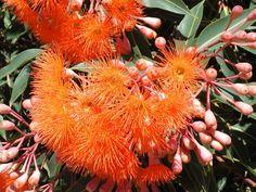 Corymbia,'Dwarf Orange' or 'Baby Orange', Orange Splendour. Australian Native Garden, Australian Native Flowers, Australian Plants, Plant Design, Garden Design, Baby Orange, Orange Orange, How To Attract Birds, Small Trees