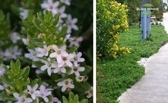 Myoporum parvifolium - a ground cover under the crepe myrtle?