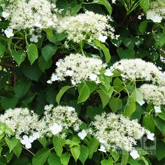Hydrangea anomala sub sp Petiolaris is a climbing Hydrangea which needs no support and loves to cling to old boundary walls. It has beautiful white flowers in early summer.