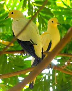 Pied Imperial Pigeons inhabit mangrove forests and coconut plantations throughout South East Asia.
