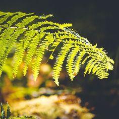 Beleuchteter Waldfarn #pflanze #awesomepic #details #plants #farn #sonnenstrahlen #herbst #autumn #pilze? #keinepilze