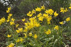 View Plant | Great Plant Picks - Tulipa sylvestris