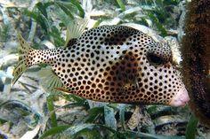 Dave C./Hawkfish - Spotted trunkfish, Xcalak, Yucatan, Mexico
