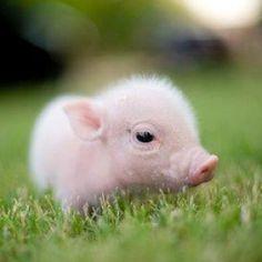 Baby piglet!