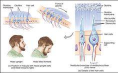 Ear Anatomy, Vestibular System, Zodiac Mind, Medical Students, Physiology, Disorders, Ears, Medicine, Study