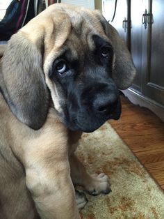The four breeds most commonly called Mastiffs are the English Mastiff, the Neapolitan Mastiff, the Bull Mastiff and the Tibetan Mastiff. Giant Dog Breeds, Giant Dogs, Big Dogs, Old English Mastiffs, English Mastiff Puppies, Bull Mastiff Dogs, Bullmastiff Puppies For Sale, Cute Puppies, Cute Dogs