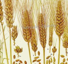 Wheat Cereal Grain Food Chart Botanical Lithograph Illustration For Your Vintage Kitchen