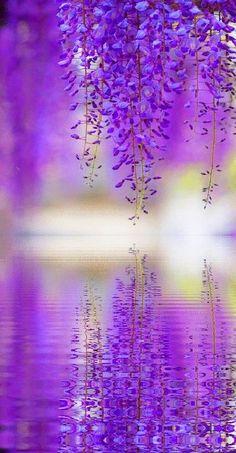 """""""purple wisteria reflection by JBot"""" Beautiful flowers, beautiful photo."""
