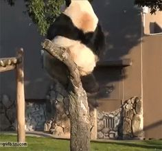 Clumsy panda falls off a tree