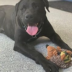 Rockville Maryland, Pet Adoption, Labrador Retriever, Pitbulls, Meet, Dogs, Pictures, Animals, Labrador Retrievers