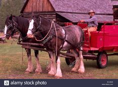 team-of-clydesdale-horses-hitched-to-a-wagon-at-cottonwood-house-historic-B1JW45.jpg (1300×962)