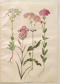 Saxifraga paniculata; Lychnis viscaria fl pl; Silene armeria, KKSgb2949/21