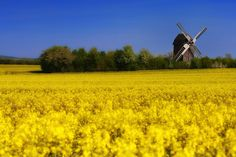 Blooming Canola Field with Windmill