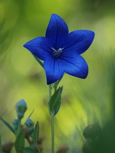 Chinese Bellflower. Platycodon grandiflorus. The root of this species (radix platycodi) is used extensively as an anti-inflammatory in the treatment of coughs and colds. Its root, either dried or fresh, is a popular ingredient in salads and traditional cu  | followpics.co