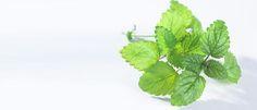 Orvosi citromfű (Melissa officinalis) - Természet Patikája Egyesület
