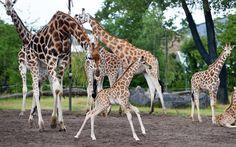 Primer plano de una jirafa recién nacida en el zoo de Chester (Steve Rawlin, 2015)b