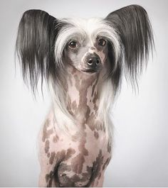 Chinese Crested Tim Flach photography