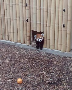 (Part Went to the Edmonton Valley Zoo yesterday for my workplace's summer staff event. Scroll through to see a number of critters I encountered there. Red Panda Cute, Green Iguana, Red Pandas, Asian Elephant, Owl House, Green Trees, Exotic Pets, Otters, Animal Kingdom