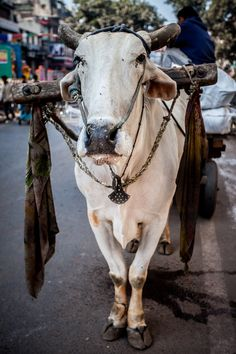 Holy Cow! - Streets in Old Delhi, India                                                                                                                                                                                 More