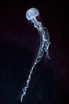 New post on easytolovelife – - jellyfish Jellyfish Pictures, Jellyfish Quotes, Jellyfish Facts, Jellyfish Tank, Jellyfish Drawing, Jellyfish Aquarium, Jellyfish Painting, Jellyfish Tattoo, Watercolor Jellyfish