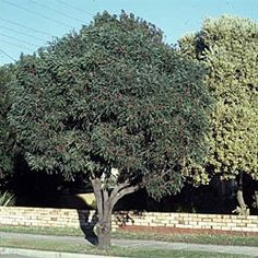 Hakea laurina, Pin Cushion Hakea.  Flowers through winter, frost tender new growth until around 1.5m tall.  Used in Italy and America as street trees.