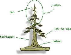 NEBARI: Raíces visibles sobre la tierra ICHI-NO-EDA: Primera rama que encontramos desde el nebari hacia la copa. TACHIAGARI: Es el espacio que existe entre el nebari y la ichi-no-eda JUSHIN: Corresponde a toda la copa del árbol TEN: el ápice en concreto.