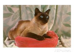 Siamese Cat on Pillow Prints - AllPosters.ca