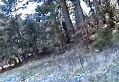 Caught On Tape: A Bigfoot Steps Out From Behind a Tree