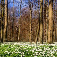 Skovens smukke anemoner er i fuldt flor. Lige om få dage springer skovens træer ud #MitAarhus #risskov #forår #Aarhus #danishadventurer