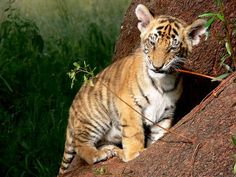 Tiger Cub Seen At Sariska Tiger Reserve - India's Endangered Bengal Cat Rescue, Kittens Cutest, Cute Cats, Funny Tiger, Save The Tiger, Cat Site, Tiger Cub, Sea And Ocean, Animal Quotes