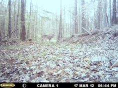 This is a big Doe caught on the trail cam. Alabama Hunting, Wildlife, Deer, Alabama outdoors. http://ithappensinalabama.com
