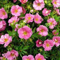 """Pink Paradise Happy Face ® Bush Cinquefoil - Potentilla-Proven Winners-4"""""""" Pot"""