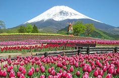 約21万本のチューリップが富士山2合目・標高1,200mで咲き誇る「天空のチューリップ祭り2016」