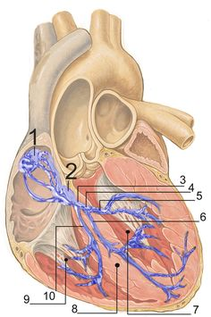 ELECTRICAL CONDUCTION SYSTEM OF THE HEART - Normal intrinsic electrical conduction of the heart allows electrical propagation to be transmitted from the Sinoatrial Node through both atria and forward to the Atrioventricular Node. Normal/baseline physiology allows further propagation from the AV node to the ventricle or Purkinje Fibers and respective bundle branches and subdivisions/fascicles. Both the SA and AV nodes stimulate the Myocardium   Wikipedia