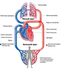 Human Veins and Arteries Diagram . 25 Human Veins and Arteries Diagram . Veins In Human Body Cardiovascular System System Structure Lung Anatomy, Heart Anatomy, Human Body Anatomy, Human Anatomy And Physiology, Kidney Anatomy, Facial Anatomy, Heart Diagram, Body Diagram, Heart Structure Diagram