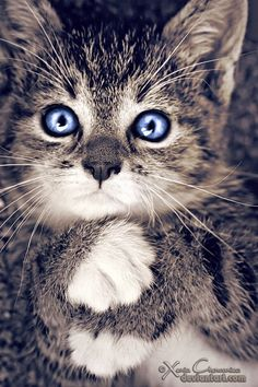 Grey kitty with beautiful blue eyes