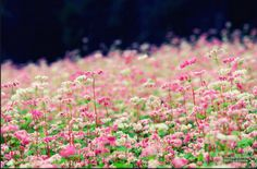Hà Giang không chỉ hấp dẫn những bạn trẻ ưa xê dịch bởi những cung đường uốn lượn, những hàng rào đá hay ngôi nhà trình tường vách đất đặc trưng mà còn lôi kéo bước chân kẻ lữ hành bởi muôn sắc hoa, nào là hoa mận trắng, hoa đào phai, hoa cải vàng…và đặc biệt là hoa tam giác mạch.