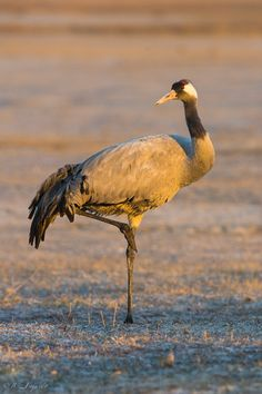 "https://flic.kr/p/tSYLKc | Con el sol de la mañana / With the morning sun | <a href=""http://jcfajardophotography.com/"" rel=""nofollow"">jcfajardophotography.com/</a>  Grulla común / Common crane / Grus grus Fotos hechas desde hide fijo  Photos taken from a fixed hide"