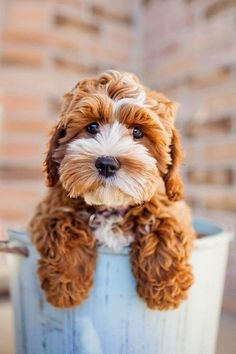 Is this little guy even real? Cockapoo love this word