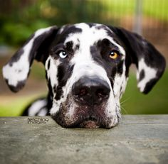 Charming Charlie - Adorable Great Dane  I realize this isn't a dachshund, but they have similar personalities and I can't wait to have one!