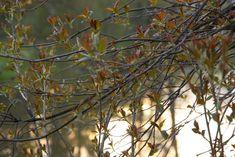 Omenaminttu: Rouheinen vuokaleipä Fruit, Plants, Plant, Planets