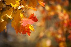 autumnal leaves red and yellow maple foliage against forest
